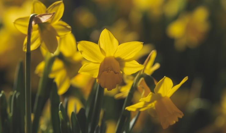Påskeliljer og påskehilsen