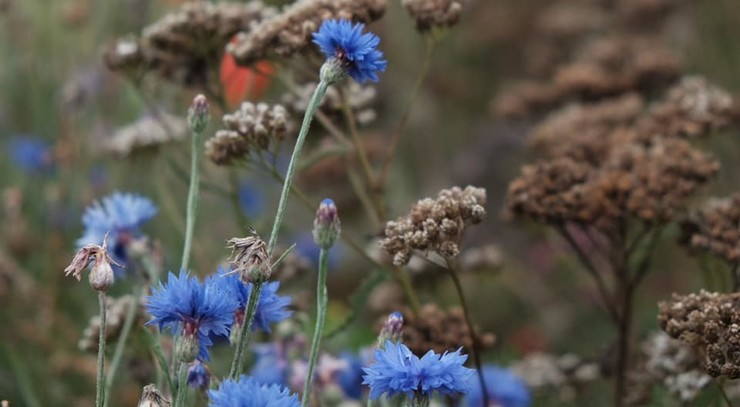 Blå kornblomster